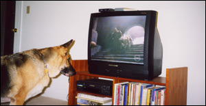 Bear watching Irish Wolfhounds on TV